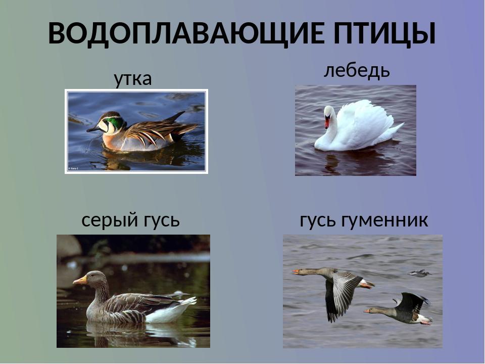 водоплавающей птицы картинки с названиями знаю