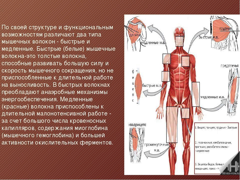 По своей структуре и функциональным возможностям различают два типа мышечных...