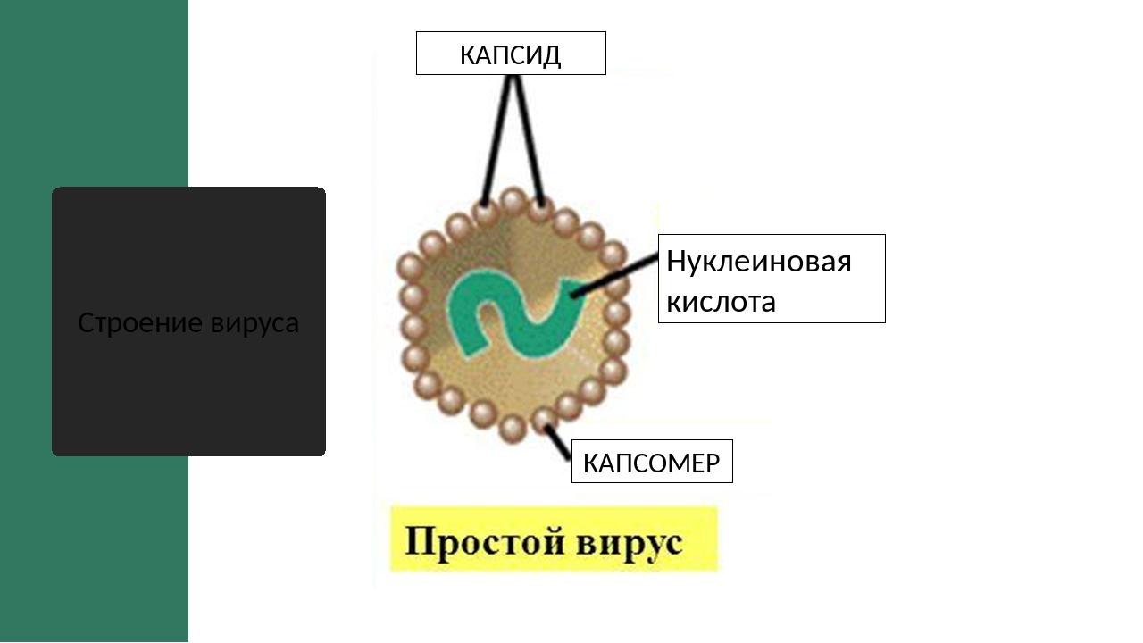 Строение вируса КАПСОМЕР Нуклеиновая кислота КАПСИД
