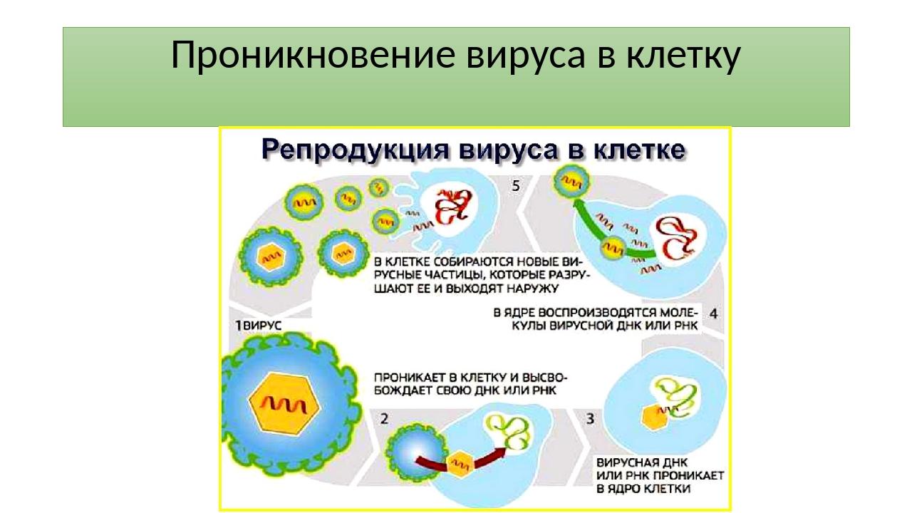 Проникновение вируса в клетку