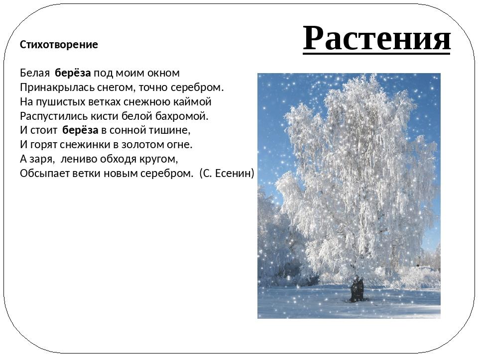 Стихотворение Белая берёза под моим окном Принакрылась снегом, точно серебро...