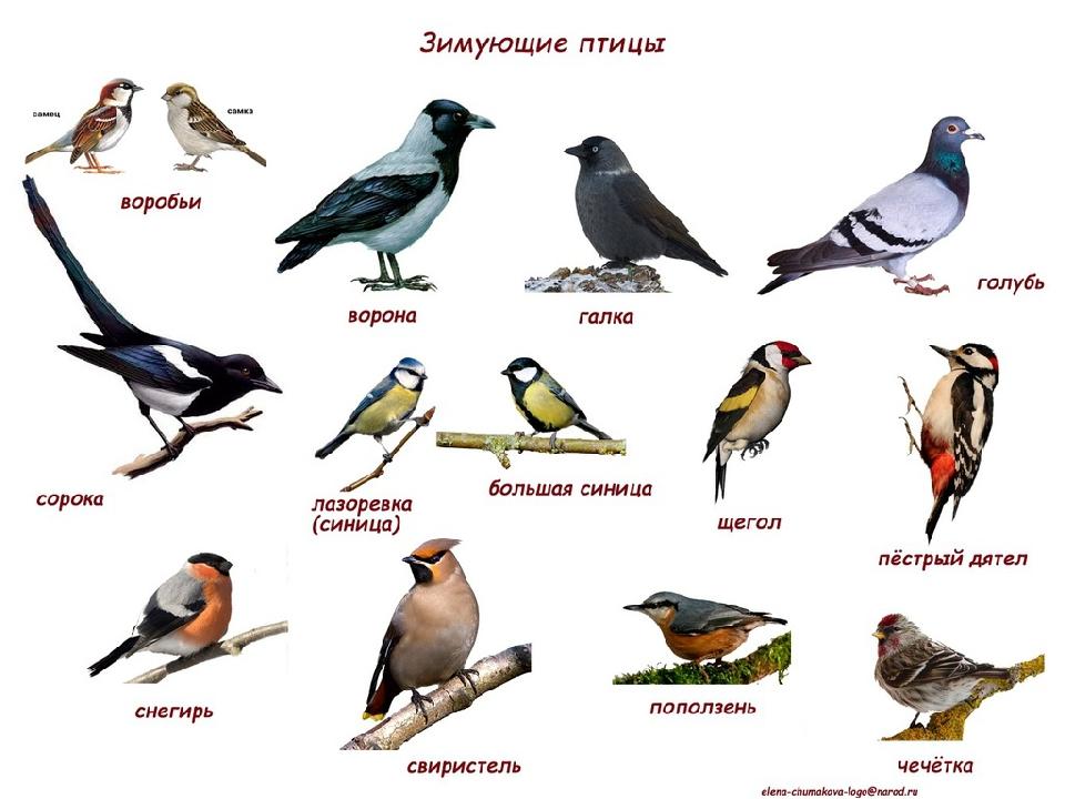последние птицы зимующие в ярославской области фото с названиями нашими банками дальше