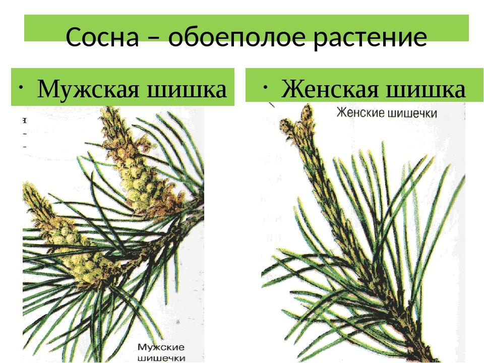 Сосна – обоеполое растение Мужская шишка Женская шишка