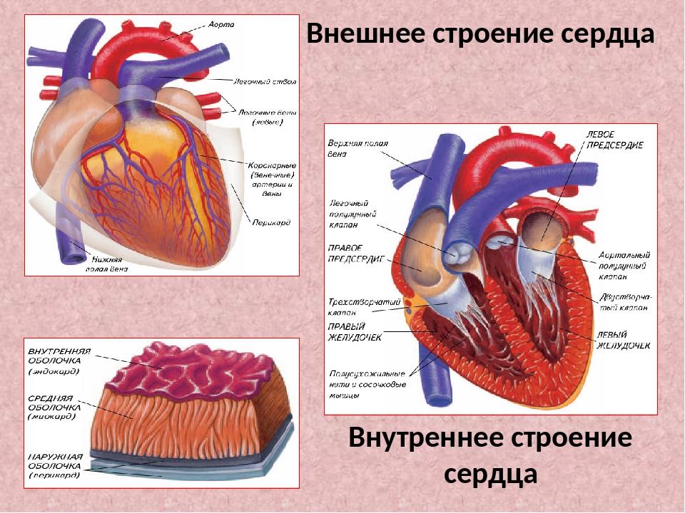 Внешнее строение сердца Внутреннее строение сердца
