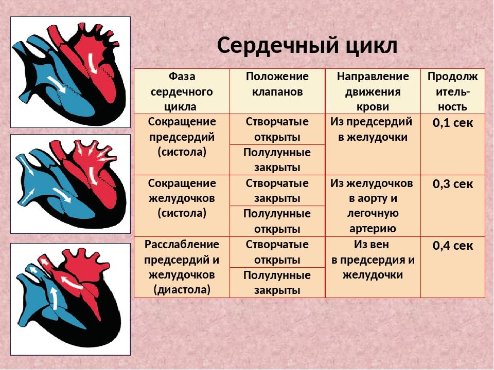 Сердечный цикл Фаза сердечного цикла Положение клапанов Направление движения...