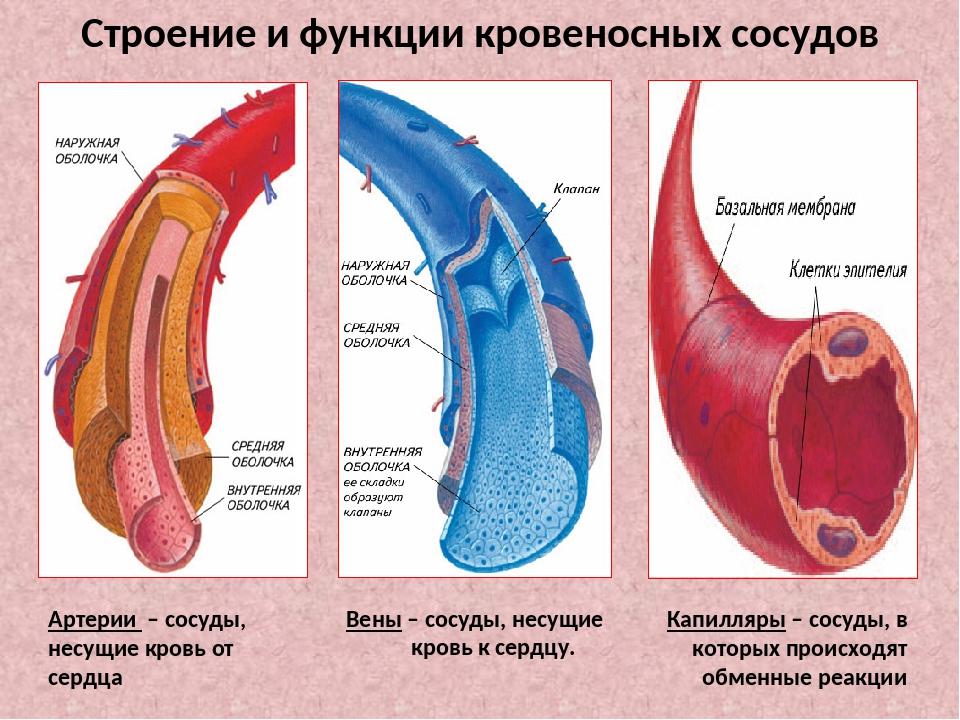 Строение и функции кровеносных сосудов Артерии – сосуды, несущие кровь от сер...