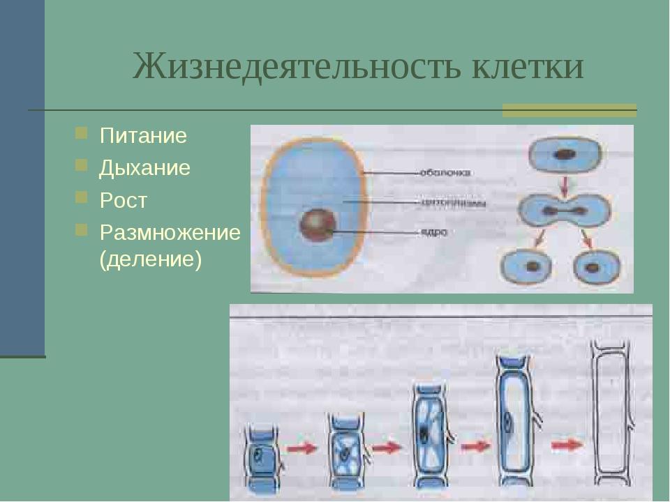 Жизнедеятельность клетки Питание Дыхание Рост Размножение (деление)