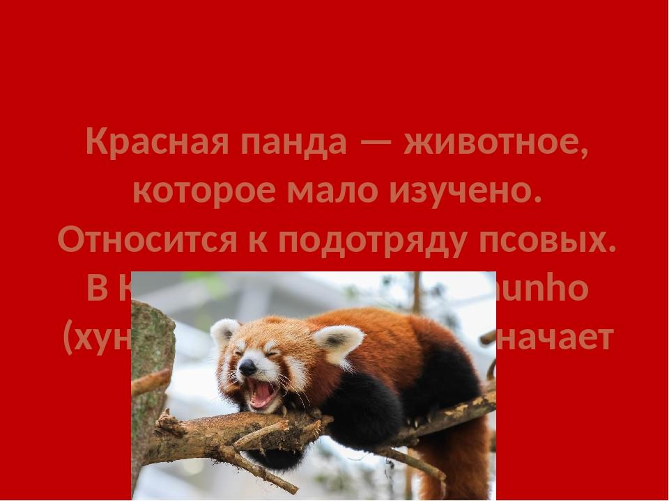Красная панда — животное, которое мало изучено. Относится к подотряду псовых....