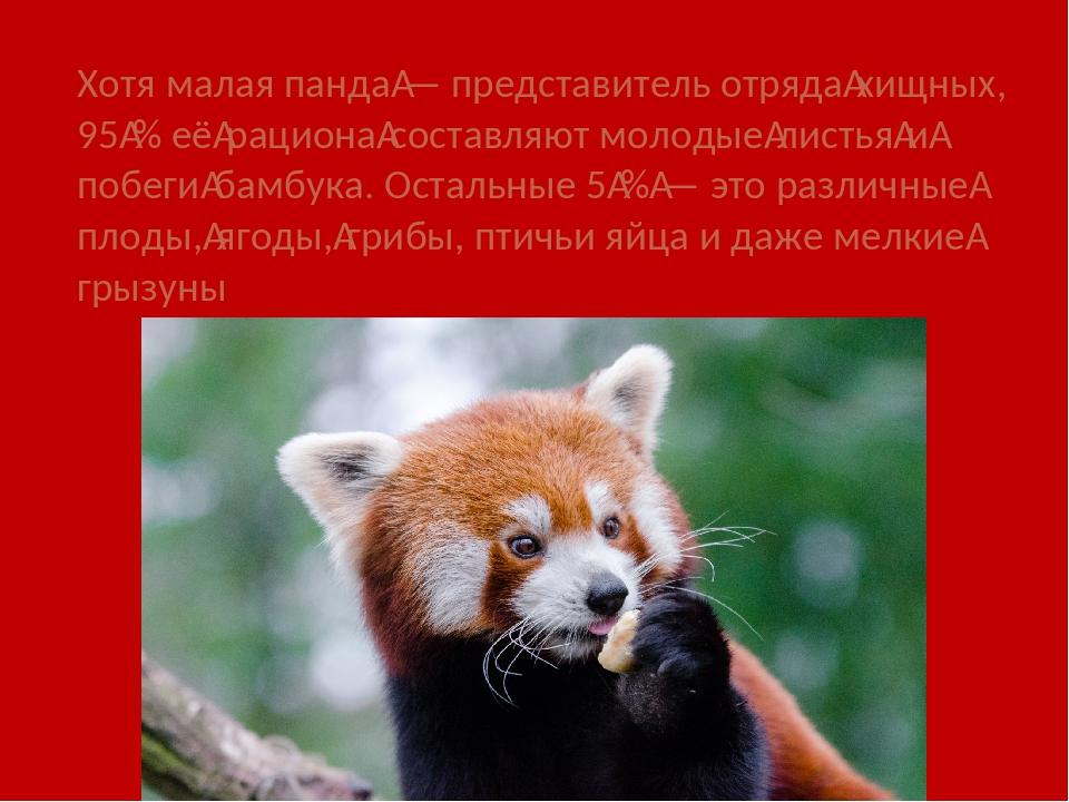 Хотя малая панда— представитель отрядахищных, 95% еёрационасоставляют мо...