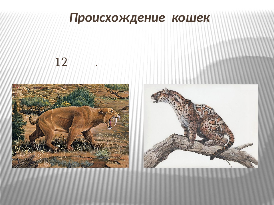 Происхождение кошек Первые кошки начали бродить по Земле 12 млн. лет назад