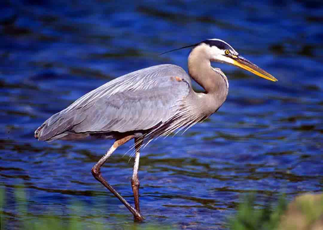 цапля фото птицы большим трепетом сердце