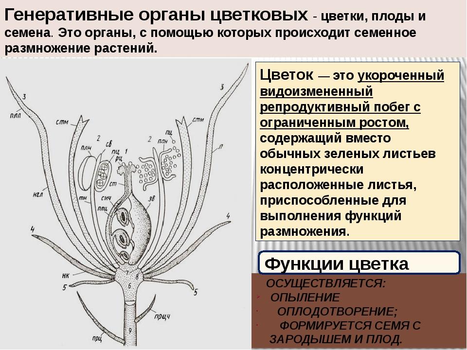 Генеративные органы цветковых - цветки, плоды и семена. Это органы, с помощью...