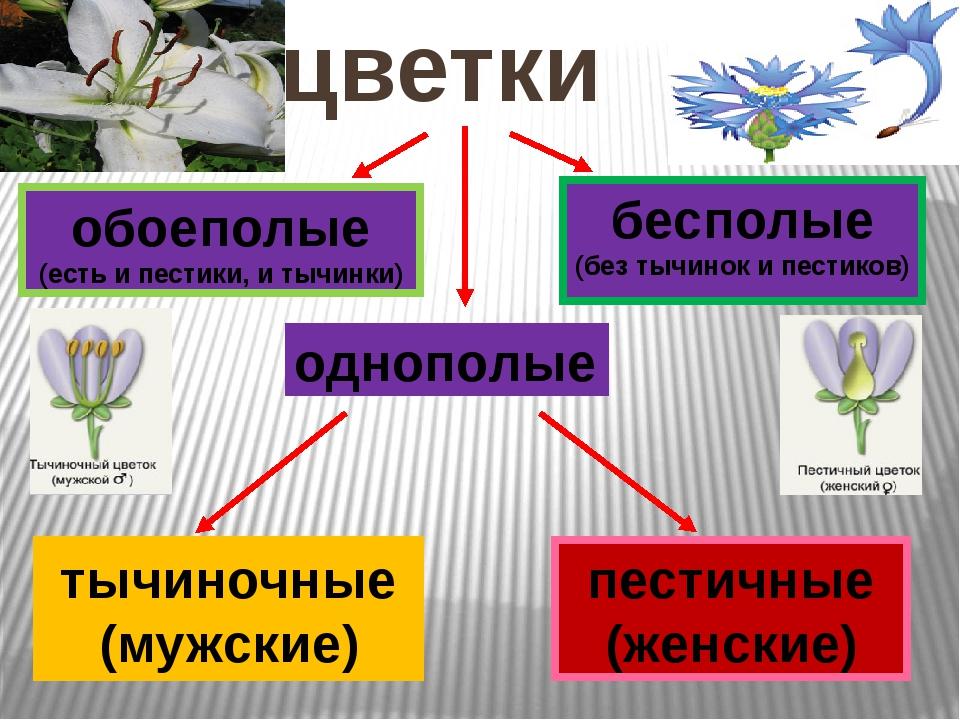 цветки обоеполые (есть и пестики, и тычинки) однополые бесполые (без тычинок...