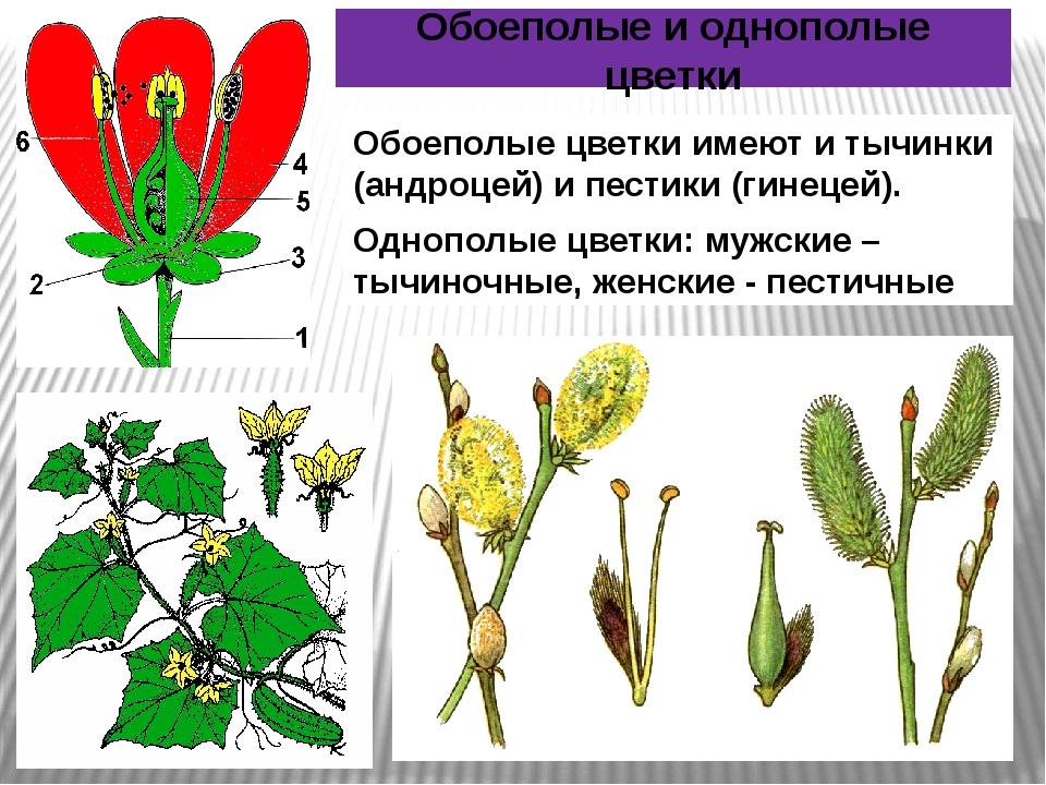 Обоеполые цветки имеют и тычинки (андроцей) и пестики (гинецей). Однополые цв...