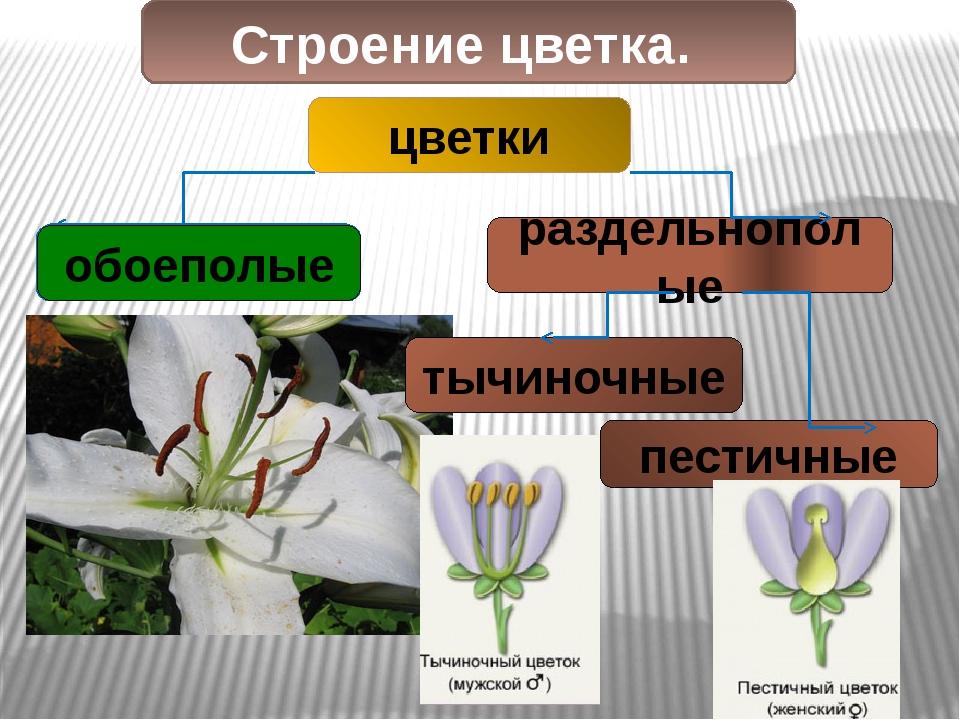 Строение цветка. цветки обоеполые раздельнополые обоеполые тычиночные пестичные