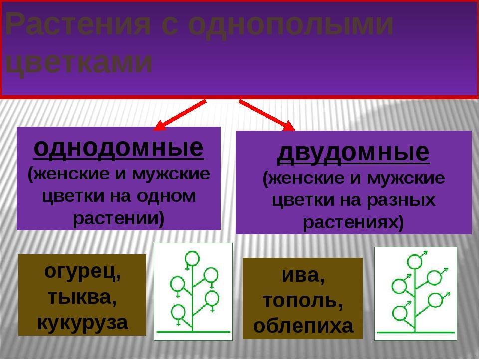 Растения с однополыми цветками однодомные (женские и мужские цветки на одном...