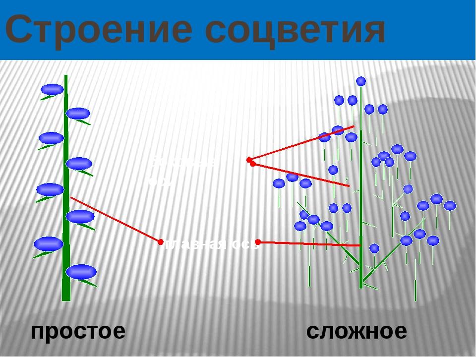 Строение соцветия сложное простое боковые оси главная ось  Как же устроены с...