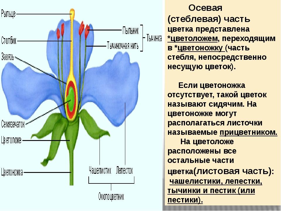 Осевая (стеблевая) часть цветка представлена *цветоложем, переходящим в *цве...