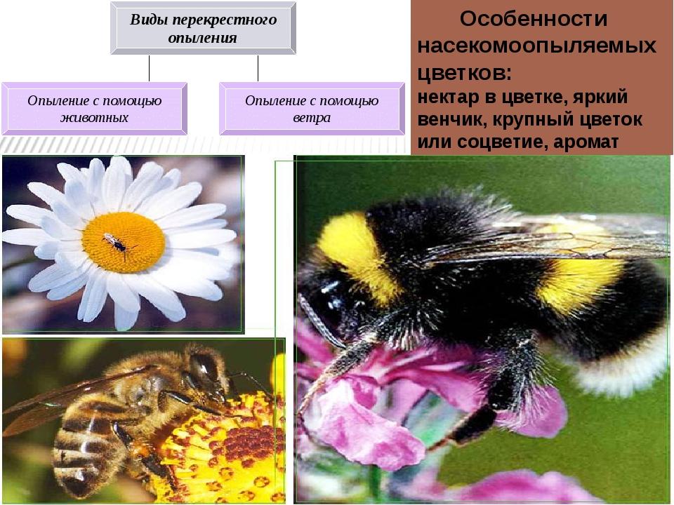 Особенности насекомоопыляемых цветков: нектар в цветке, яркий венчик, крупны...