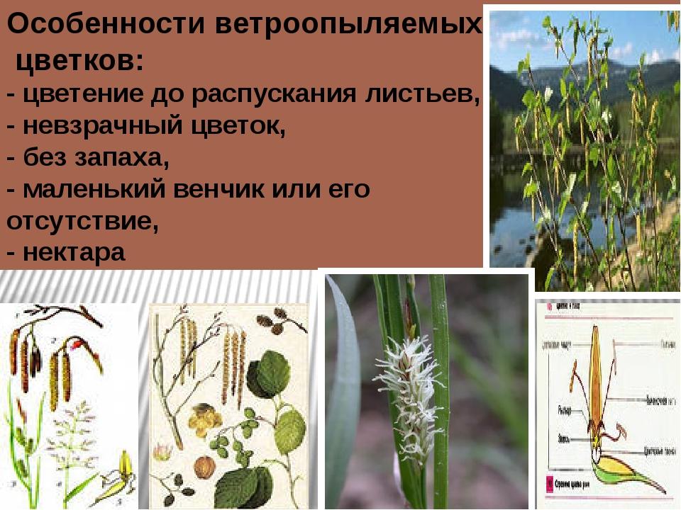 Особенности ветроопыляемых цветков: - цветение до распускания листьев, - невз...