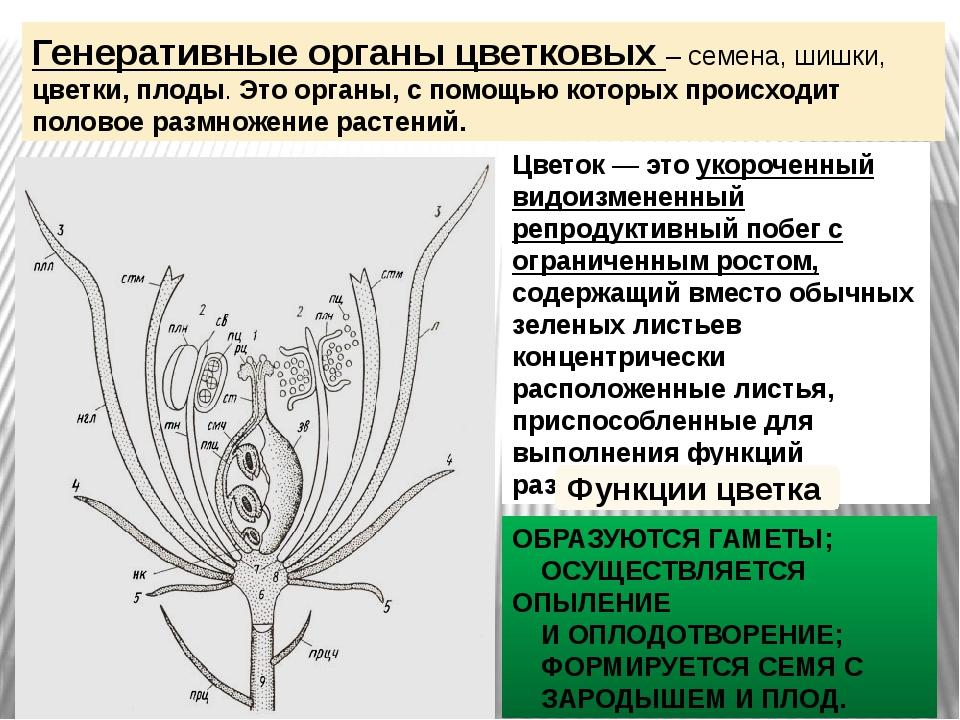 Генеративные органы цветковых – семена, шишки, цветки, плоды. Это органы, с п...