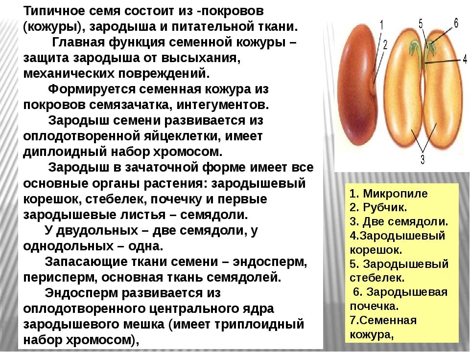 Типичное семя состоит из -покровов (кожуры), зародыша и питательной ткани. Гл...