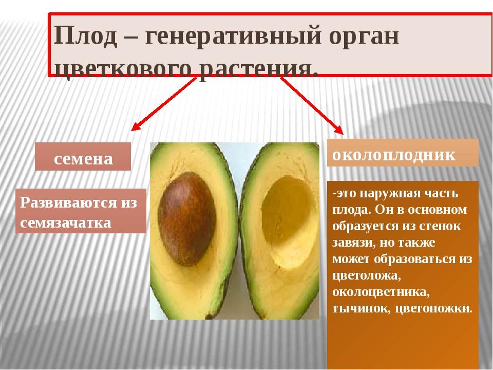 Плод – генеративный орган цветкового растения. семена околоплодник Развиваютс...