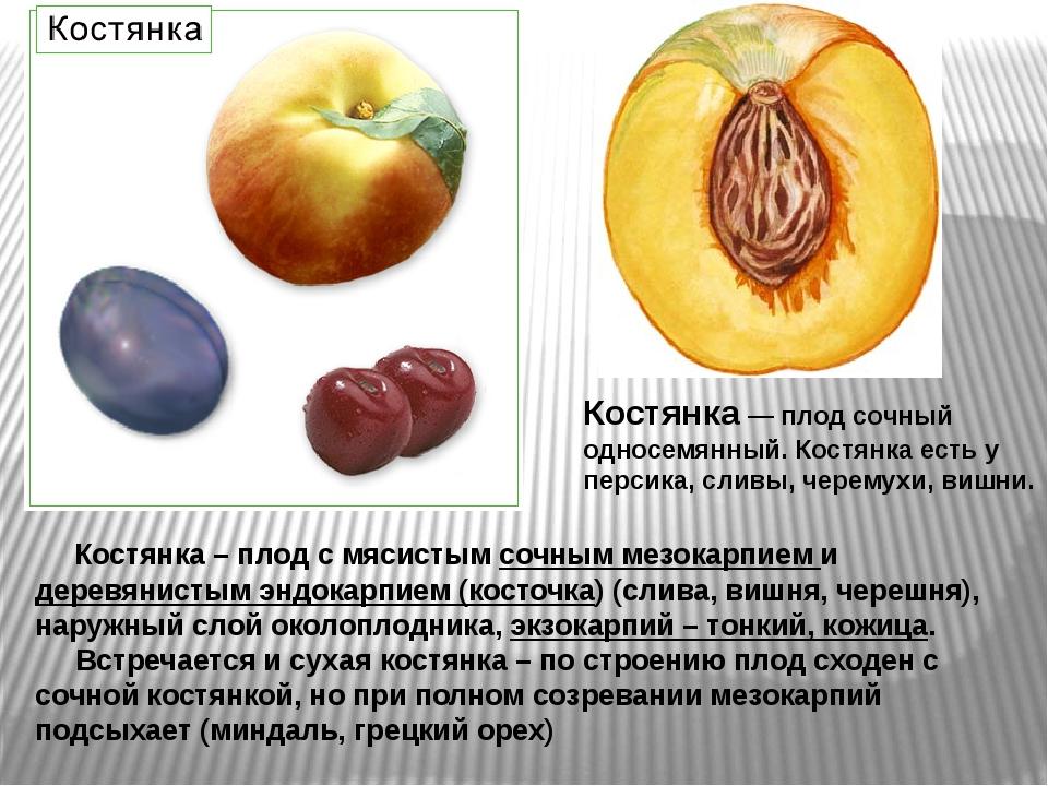 Костянка — плод сочный односемянный. Костянка есть у персика, сливы, черемухи...