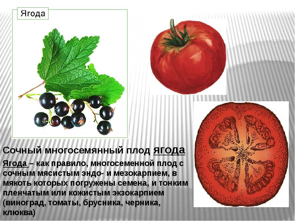 Сочный многосемянный плод ягода Ягода – как правило, многосеменной плод с соч...