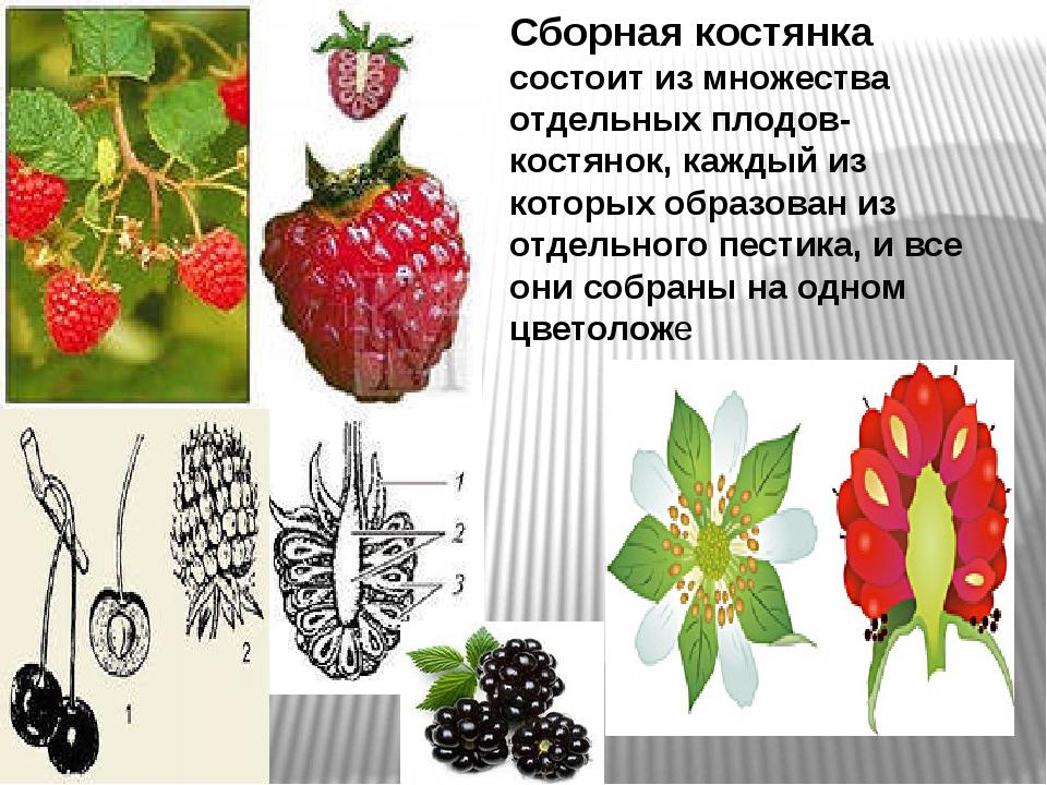 Сборная костянка состоит из множества отдельных плодов-костянок, каждый из ко...
