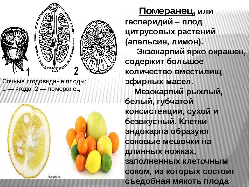 Померанец, или гесперидий – плод цитрусовых растений (апельсин, лимон). Экзо...
