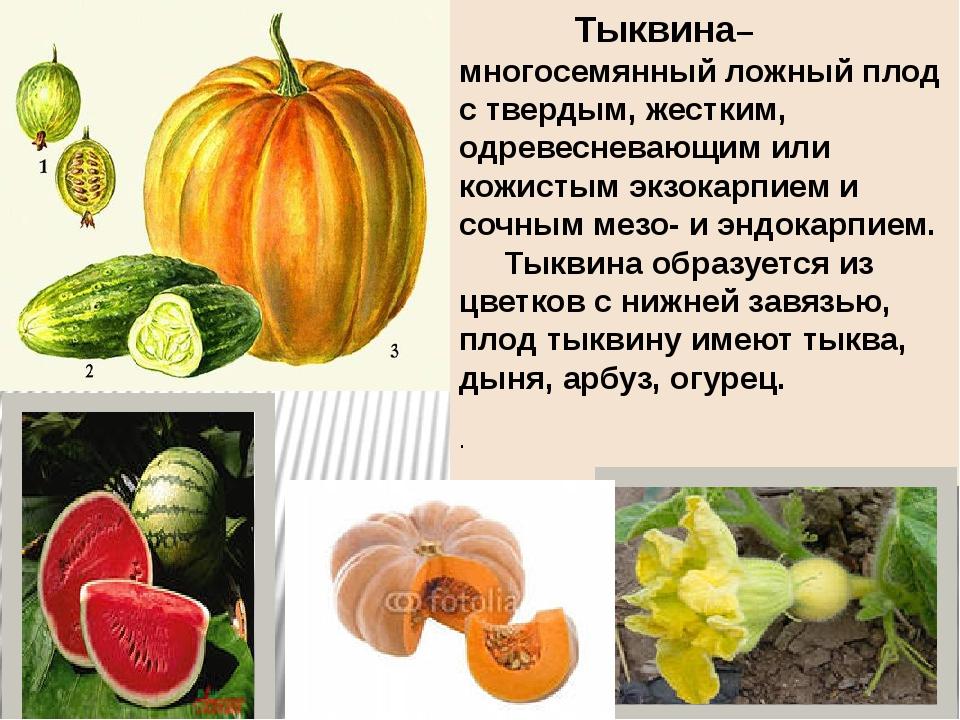 Тыквина– многосемянный ложный плод с твердым, жестким, одревесневающим или к...
