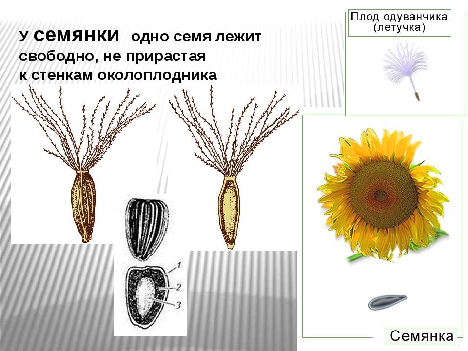 У семянки одно семя лежит свободно, не прирастая кстенкам околоплодника .око...