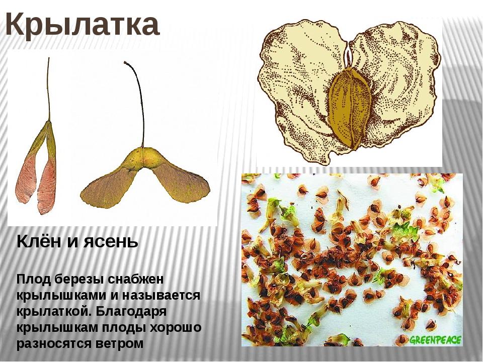 Крылатка Клён и ясень Плод березы снабжен крылышками и называется крылаткой....