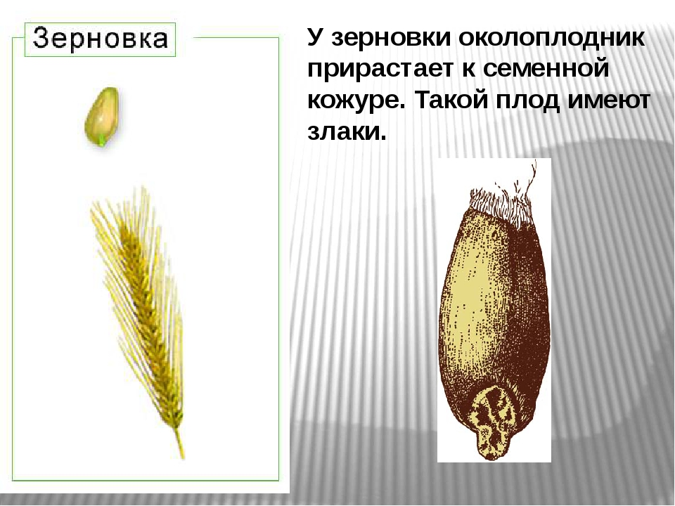 У зерновки околоплодник прирастает ксеменной кожуре. Такой плод имеют злаки.