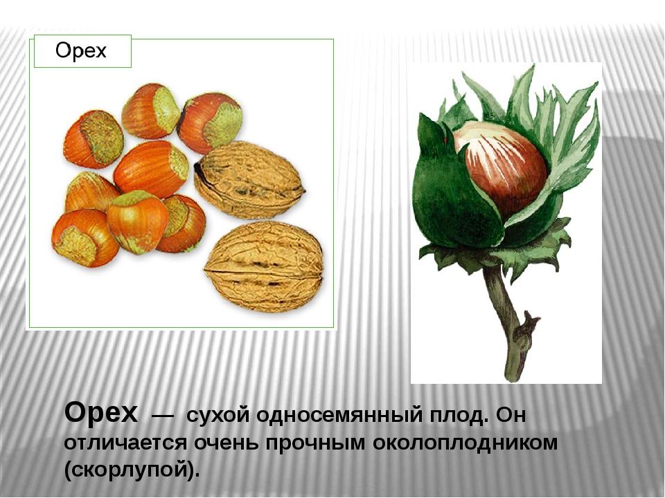 Орех — сухой односемянный плод. Он отличается очень прочным околоплодником (с...