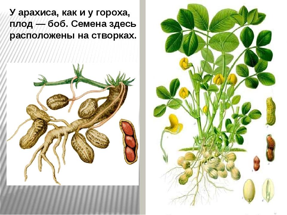 У арахиса, как и у гороха, плод — боб. Семена здесь расположены на створках.