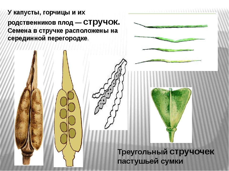 Треугольный стручочек пастушьей сумки У капусты, горчицы и их родственников п...