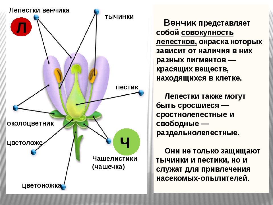 Лепестки венчика тычинки пестик околоцветник цветоложе Чашелистики (чашечка)...