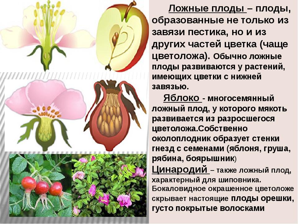 Ложные плоды – плоды, образованные не только из завязи пестика, но и из друг...