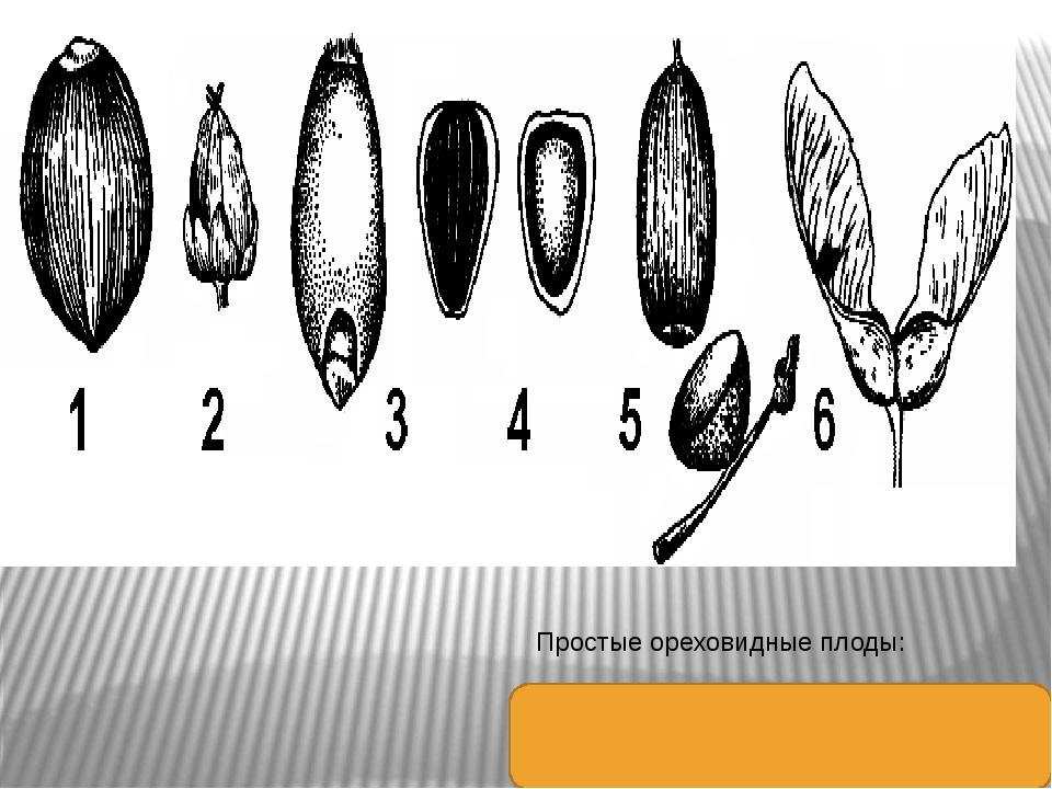 Простые ореховидные плоды: 1 — орех; 2 — орешек; 3 — зерновка; 4 — семянка; 5...