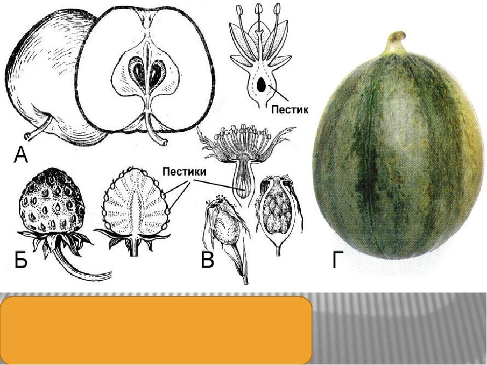 Ложные плоды: А – яблоко; Б – земляничина; В – цинародий; Г – тыквина