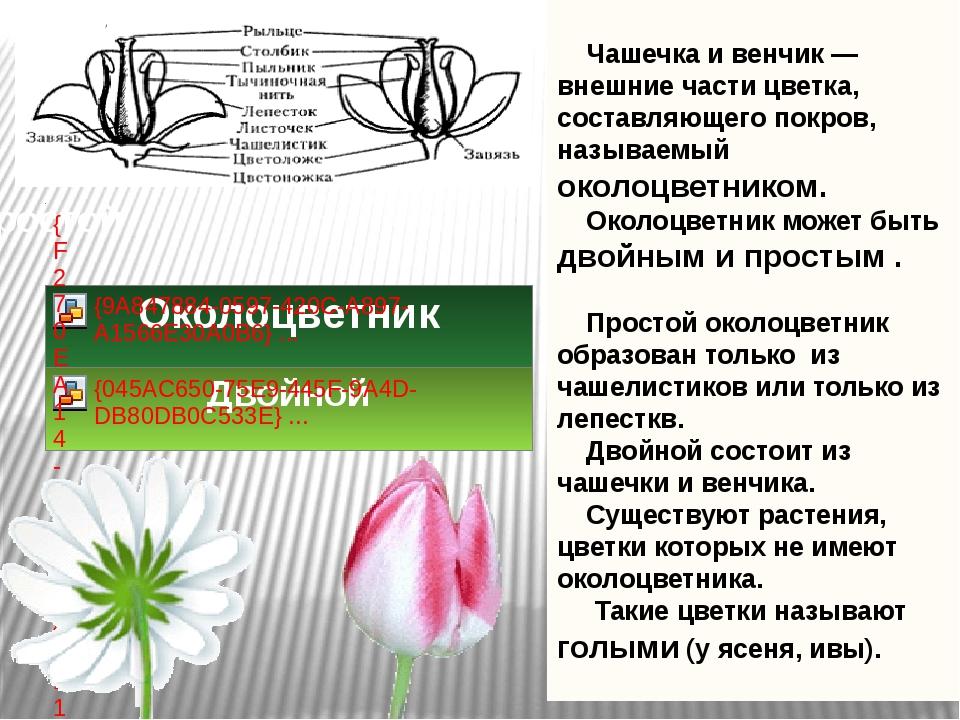 Чашечка и венчик — внешние части цветка, составляющего покров, называемый ок...