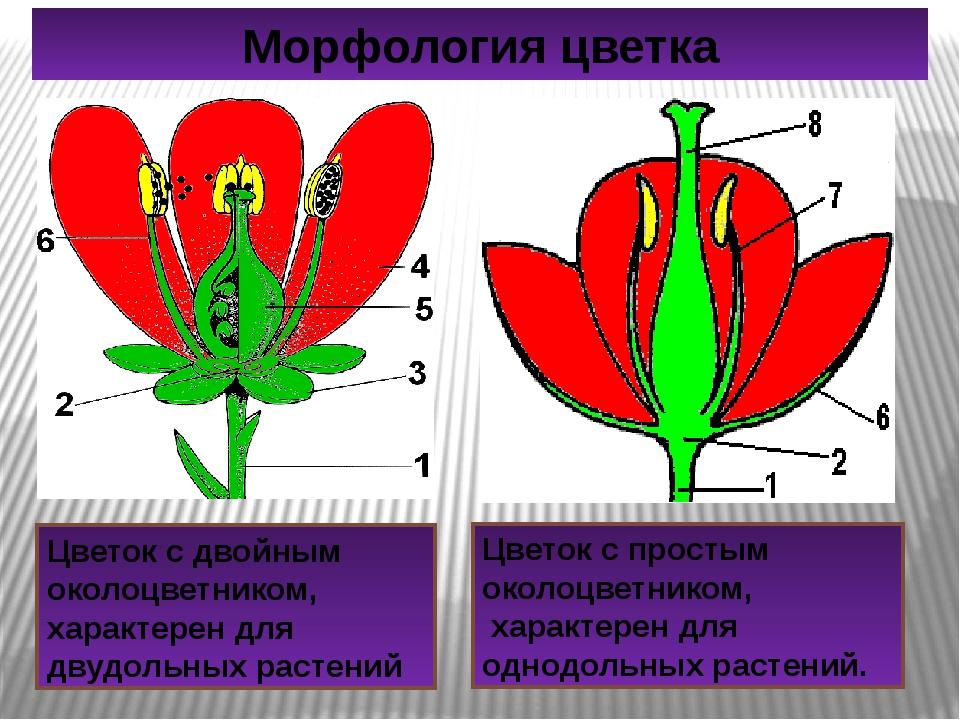 Цветок с двойным околоцветником, характерен для двудольных растений Цветок с...