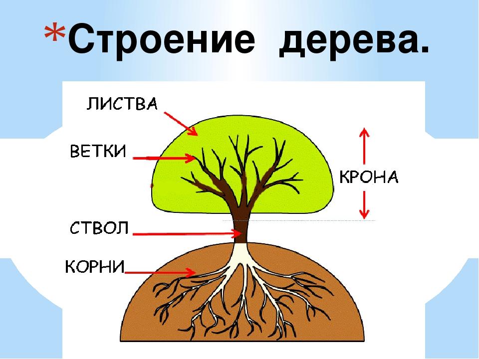 принципе части дерева в картинках интернет-магазины