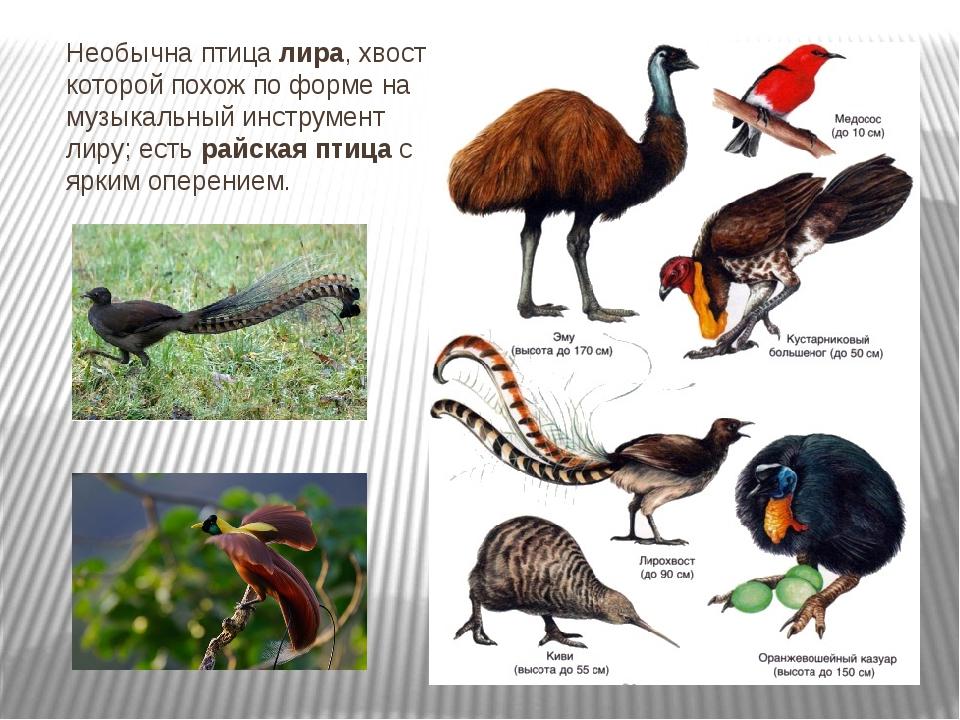 Необычна птица лира, хвост которой похож по форме на музыкальный инструмент л...