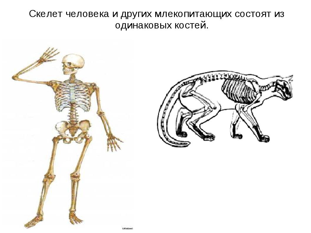 Скелет человека и других млекопитающих состоят из одинаковых костей.