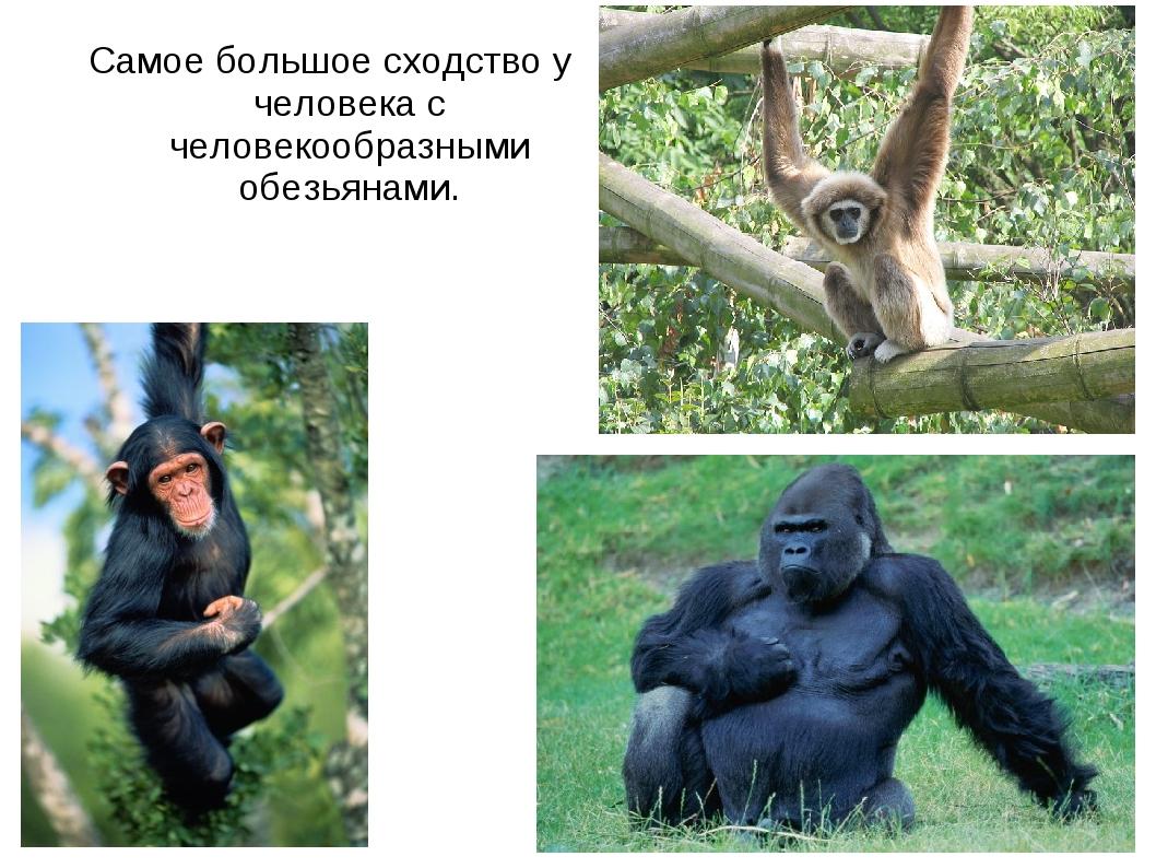 Самое большое сходство у человека с человекообразными обезьянами.