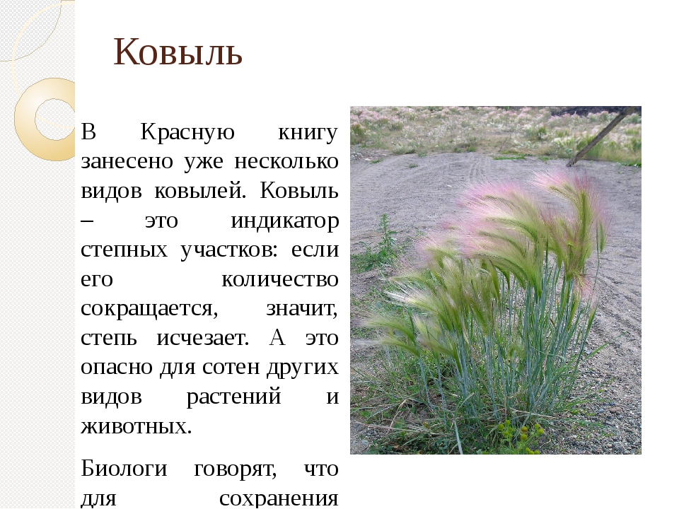 Ковыль В Красную книгу занесено уже несколько видов ковылей. Ковыль – это инд...