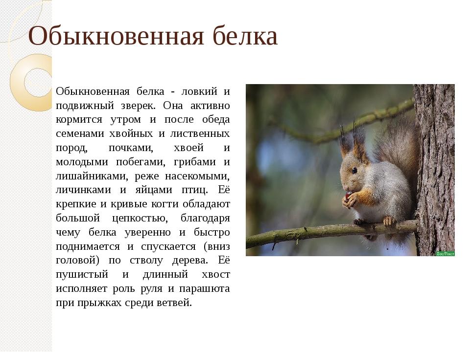 Обыкновенная белка Обыкновенная белка - ловкий и подвижный зверек. Она активн...